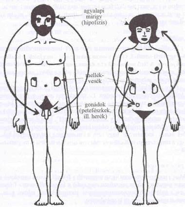 pénisz nemi átcsoportosítása rossz erekciós fasz petyhüdt